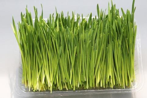 在農村投資菜立方芽苗菜怎么樣