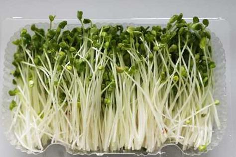 菜立方芽苗菜