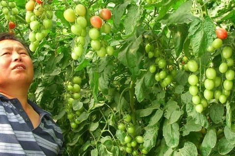 有機瓜菜工廠如何經營生意好 種植技巧有哪些