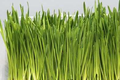 芽苗菜种植技术培训项目有哪些