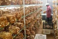 農村種植什么食用菌有市場 如何降低創業成本?