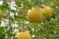 有机瓜菜工厂一举多得 多方面获利