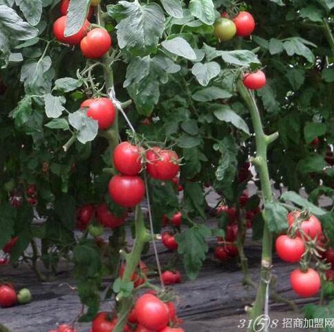 无土栽培蔬菜投资成本