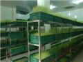 农业种植新科技 非菜立方芽苗菜莫属