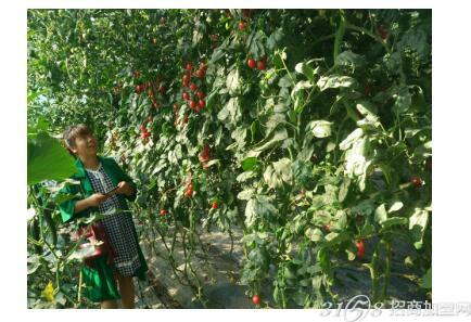 大棚反季节蔬菜种植