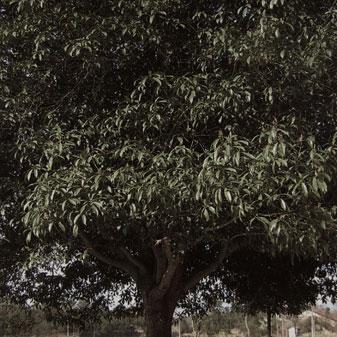 小时候的桂花树