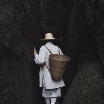 长净为白茶古树清除地衣的故事
