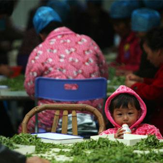 福鼎深入民心的白茶文化