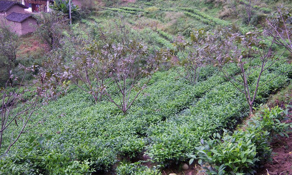 3凤庆百抖茶以其独特的制茶方式和浓郁的清香,成为凤庆县对外交往的一种别具特色的传统礼仪活动,当地经常以百抖茶的制作表演及百抖茶的品饮,招待各方来宾。