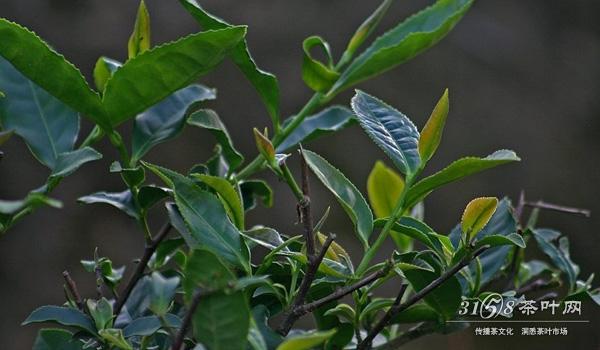 正宗的铁观音茶树有什么特点