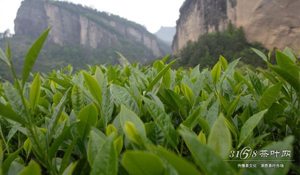 茶树生长在岩
