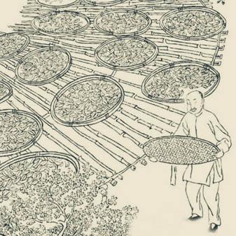 武夷岩茶大红袍独特的传统制作工艺