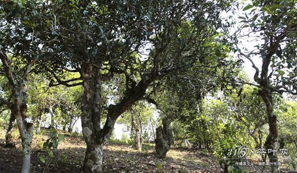 普洱茶产地有哪些顶级的普洱古树区
