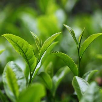 重庆绿茶有哪些品种 这些绿茶有什么特点