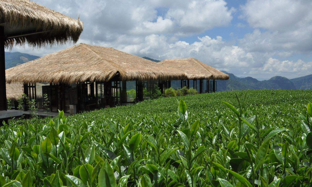 2.这和高山得天独厚的气候条件关系密切。山愈高,空气就愈稀薄,气压也就愈低,芽叶的蒸腾作用也就相应加快了。为了减少芽叶的蒸腾,芽叶本身不得不形成一种抵抗素,来抑止水分的过分蒸腾,这种抵抗素就是茶叶的宝贵成分芳香油。