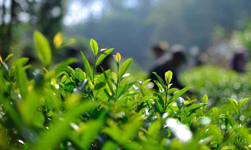 4.茶树受这种短波光照射后,有利于芳香物质的合成,种植在高山上的茶叶香气比较浓,就是这个道理。