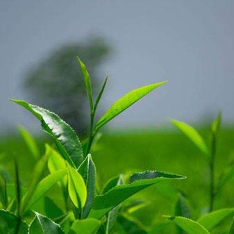 农业发展进入新阶段 做强茶产业面临难得机遇