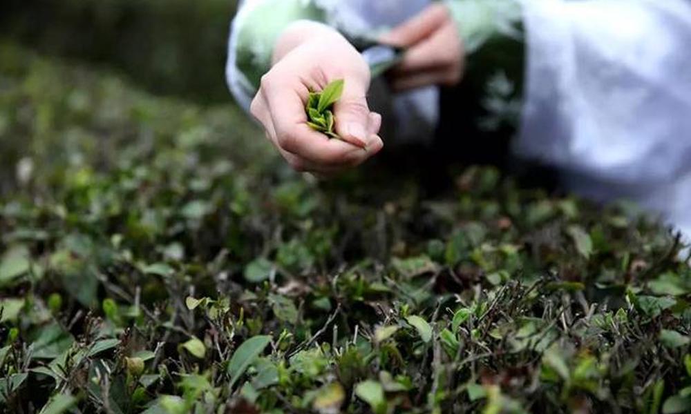1.汉中西乡,地处秦岭以南,特殊的地理位置和独特的气候条件,造就了陕西的好茶,汉中仙毫,陕西绿茶的精品。原料全部采用清明前的嫰芽头,明前的嫰芽头数量有限,因而仙毫特别金贵,品质和等级高一点的明前仙毫。
