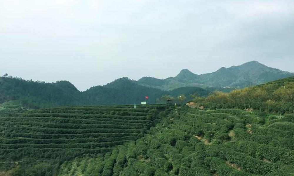 2.错落有致的茶树,均匀的分布在山坡间,整齐划一,与远处的大山融为一体。