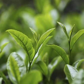 绿茶有哪些品种属于烘青绿茶 这些品种是如何分布的