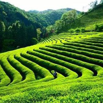 安徽茶如何更好 安徽名茶为什么现在有名无分