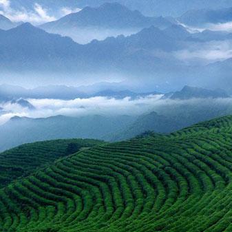2017年春茶市场行情怎么样 春茶价格涨幅大不大