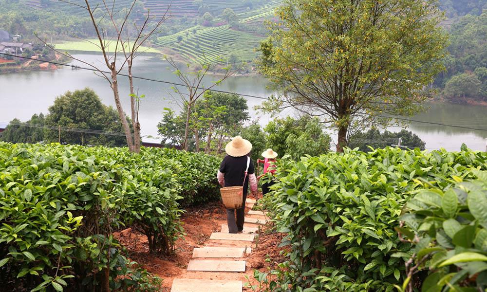 2.庄园内有260多亩现代化良种茶园,配备有茶叶初制和精制车间、普洱茶发酵和压制车间、茶叶感官审评室各1间。