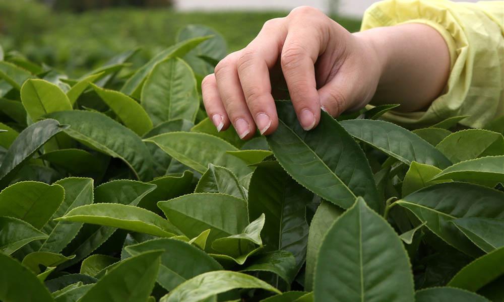 3.在庄园内体验茶叶的采摘,整个采茶过程是在轻松愉快中度过的,每个人虽然采的量很少,因为每一个茶叶都是自己采摘的,就感到特别的珍贵。