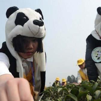 听说过国宝熊猫 听说过国茶熊猫茶吗