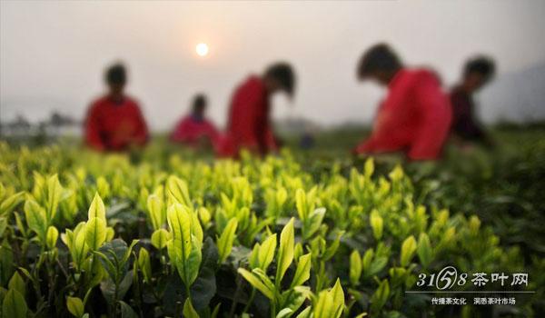 春茶上市的时间.jpg