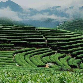 芯仙茗堂东方美人茶 特别的贵族香给特别的你