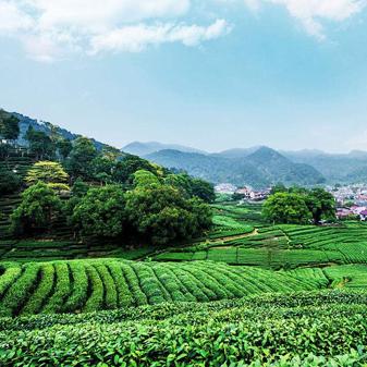 龙井茶的产地有哪些 可以分为哪些等级