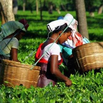 世界三大红茶之乡 印度的红茶