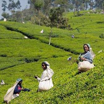 世界三大红茶之乡 斯里兰卡的红茶