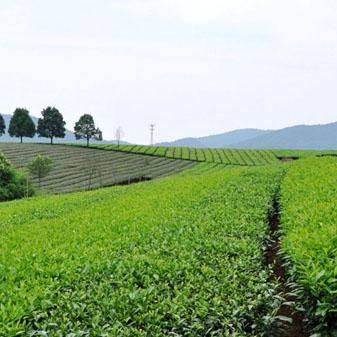 安徽名茶敬亭绿雪是什么茶 它的制作工艺有哪些
