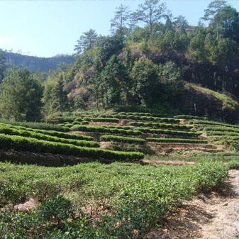 武夷大红袍属于什么茶 有哪些独特的品性