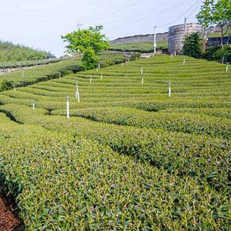 台湾都有哪些茶树品种 3158带你了解常见的品种