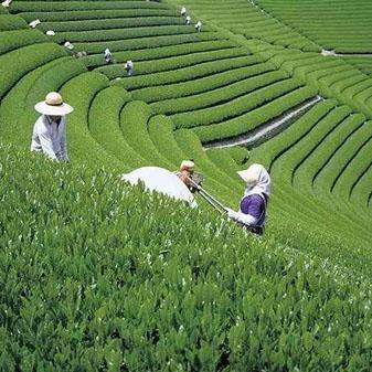 日本的绿茶有哪些 是否都适合做抹茶