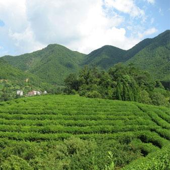 安徽名茶的爱好者 你知道老竹大方吗
