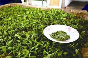 手工制茶与机械制茶的碰撞 制茶工艺对茶叶品质的影响