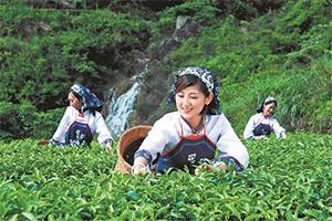 安溪铁观音制茶工艺流程