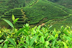 安溪铁观音茶文化知识
