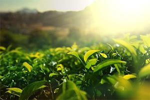 2018茶产业大数据报告最新出炉